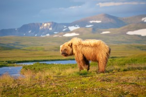 Basecamp Bears - Katmai National Park